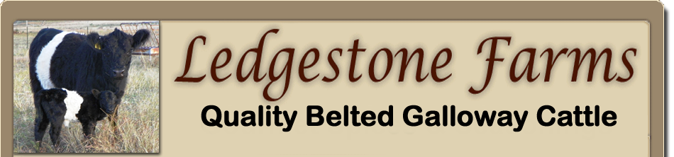 Ledgestone Farms Breeders of Quallity Galloway Cattle in Blanco TX.